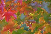 Vivd autumn color on sweet gum leaves in Portland, Oregon