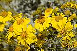 ENCILIA FARINOSA, BRITTLEBUSH, AND HONEY BEE, APIS MELLIFERA