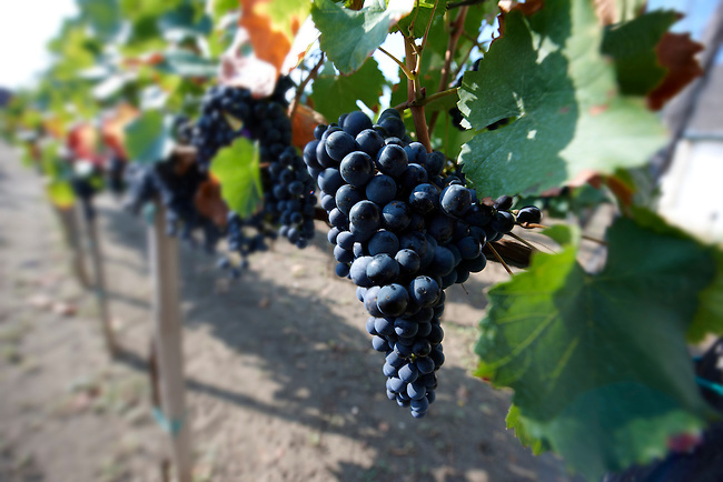 Kadarka red grapes on the vines in the vineyards of Hajos (Hajós) Hungary