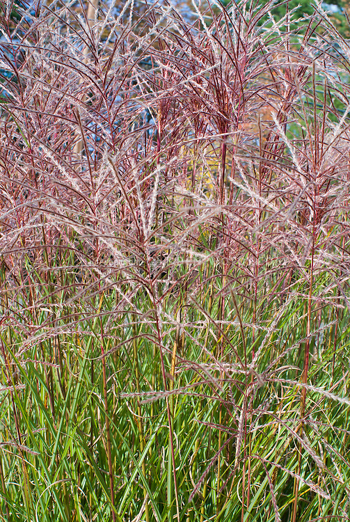 Miscanthus sinensis Kleine Fontaine Ornamental Grass in autumn fall flowers