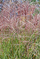 Miscanthus sinensis Kleine Fontaine Ornamental Grass in autumn fall flowers