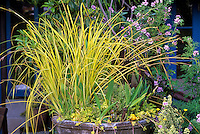 Colorful yellow foliage grass, Carex elata 'Bowles Golden' in container in California garden of Roger Raiche