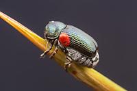 Case-bearing Leaf Beetle (Saxinis saucia)