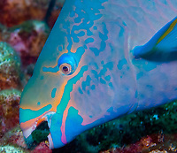 queen parrotfish, Scarus vetula, feeding on coral, Bonaire, Netherlands Antilles, Caribbean Sea, Atlantic Ocean