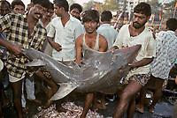 Fishermen holding Whitespotted Guitar Shark, Rhynchobatus djiddensis, at Bombay Fish Market, India.
