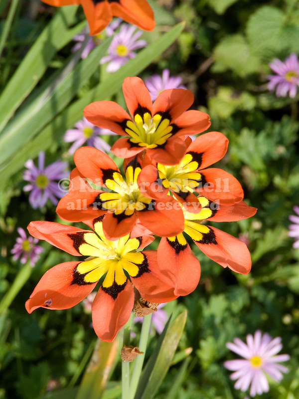 Orange Harlequin Flower, Sparaxis tricolor, and Brachycome