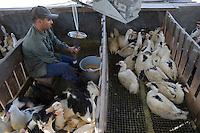 Afrique/Afrique du Nord/Maroc /Casablanca: gavage des canards à la ferme de Farida Kabbaj