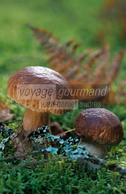 Europe/France/Limousin/19/Corrèze/Forêt Domaniale de Sédières: Cèpes