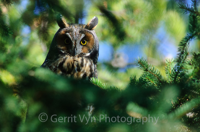 Adult Long-eared Owl (Asio otus) roosting in a Jack pine. Ontario, Canada. November.