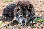 grey wolf mixed chocolate color phase laying on ground, close-up looking at camera