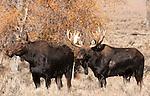 Female and male bull moose. Teton National Park.