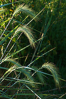 Inflorescence, or spike, of Canada Wild-Rye (Elymus canadensis), a signature grass of the tallgrass prairie. Native and widely distributed across North America.
