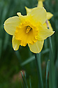 Narcissus 'First Hope', early April.