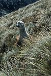 Amérique du Sud. Equateur. Trekking sur les volcans d'Equateur.  alpagas : (petits camélidés de la famille du lama) au pied du Chimborazo (plus haut sommet de l'Equateur à 56310 m).South America. Ecuador. Trekking on the volcanoes
