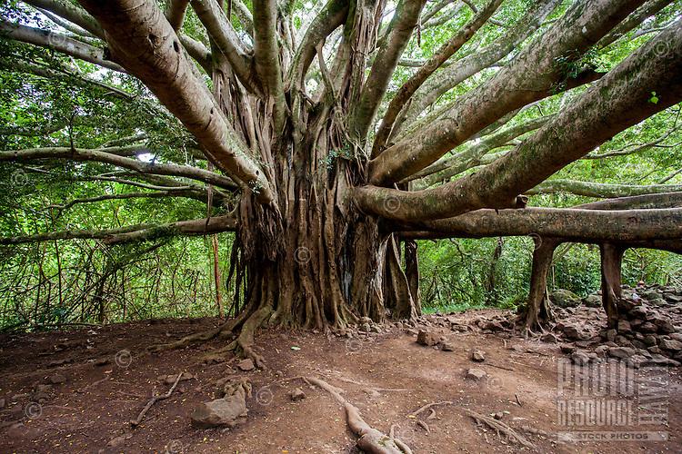 A large banyan tree with aerial roots along the Pipiwai hiking trail in Haleakala National Park, Kipahulu, Maui.