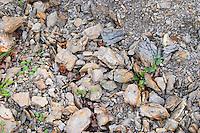 Domaine Grand Guilhem. In Cascastel-des-Corbieres. Fitou. Languedoc. Terroir soil. The vineyard. France. Europe. Soil with stones rocks.