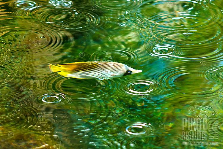 On a sunny day, rain drops produce ripples in a fishpond as a kikakapu (or Hawaiian butterflyfish) swims by, Big Island.