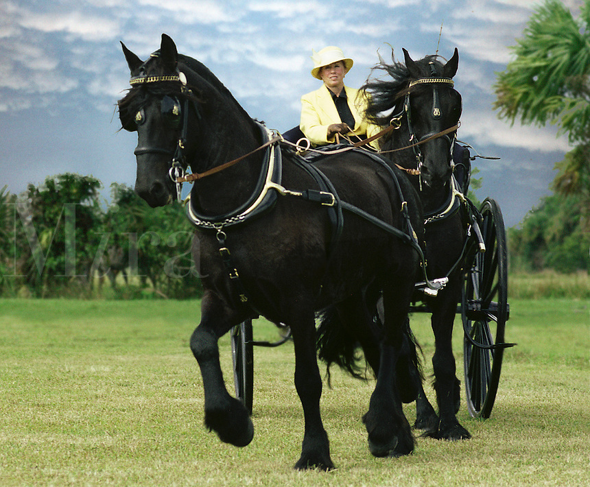 A tandem team of Friesian stallions trot pulling a carriage. horses, equine, animals. #557 Friesian Driving.