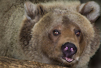 609680075 a captive wildlife rescue male russian brown bear maverick ursus arctos ssp at the wildlife waystation wildlife recovery and care facility in southern california