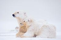 polar bear, Ursus maritimus, mother with cub resting on the pack ice, 1002 coastal plain, Arctic National Wildlife Refuge, Alaska, polar bear, Ursus maritimus