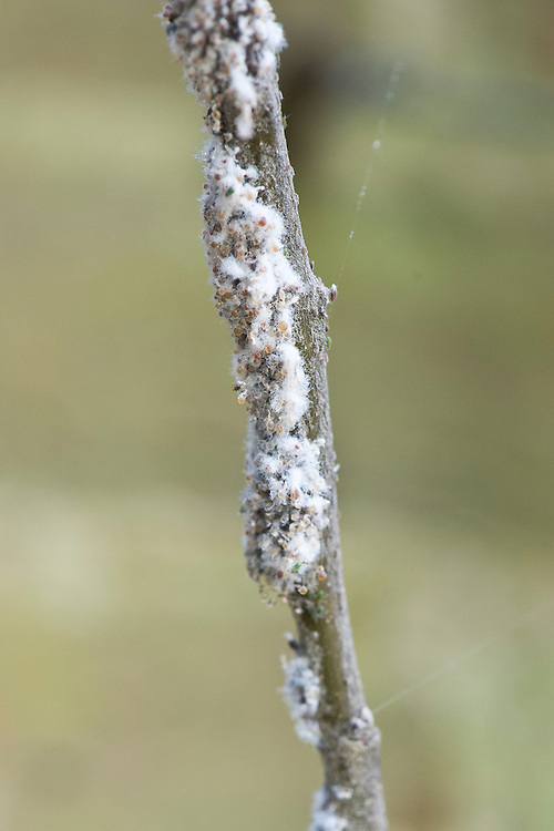Woolly aphid infestation on an apple tree, mid June. The aphids (Eriosoma lanigerum)are sap-sucking insects that leave white, waxy, cotton-wool-like secretions on branches, twigs and shoots of apple trees.