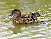 Adult female gren-winged teal