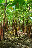 Tanzania.  Mto wa Mbu. Banana Plantation, Showing Close Proximity of Plants to One Another.