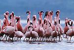 Lesser flamingos, Lake Nakuru National Park, Kenya