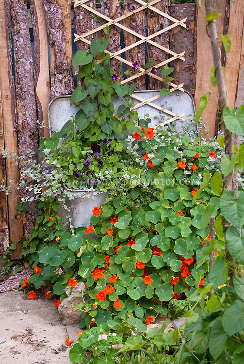 Recycling an old metal container vintage in the garden for edible herb Nasturtiums, climbing vines and foliage plants, trellis on rustic wall