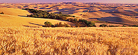 Close up view of wheat and rolling hills of grain in back. Near Colfax, Washington.