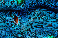 The inside of a Giant Clam on the Great Barrier Reef