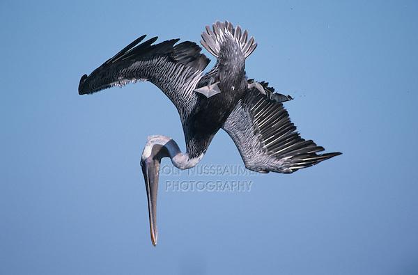 Brown Pelican, Pelecanus occidentalis,adult in flight diving, Port Aransas, Texas, USA, December 2003