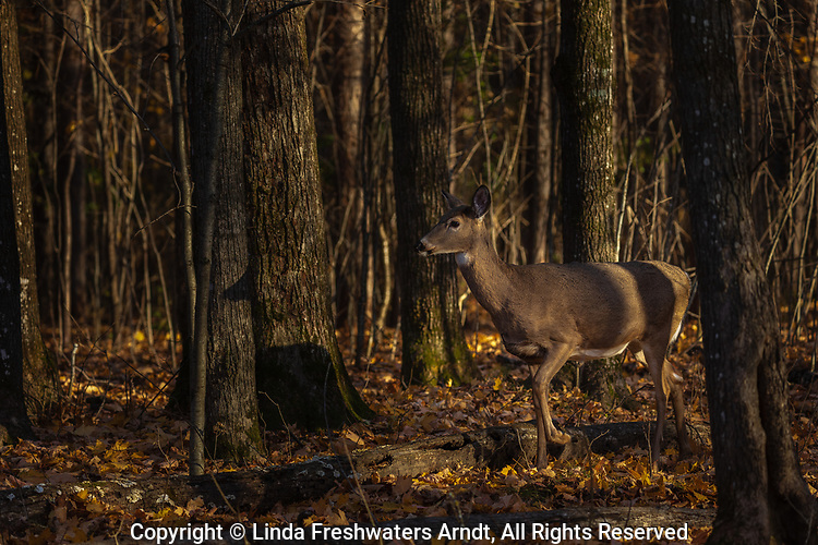 White-tailed doe in the deep shadows of a northern Wisconsin woodland.