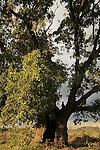 Iarael, Sharon region, Mount Tabor Oak (Quercus ithaburensis) tree in Taybe