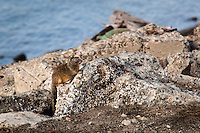 Used to blending in with its environment, a California ground squirrel remains still till a perceived threat passes.