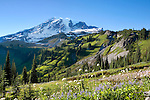 From Mazama Ridge along the Skyline Trail above the Paradise River in Mt. Rainier National Park, wildflowers provide foreground for the rugged Tatoosh Range.