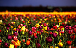 Soft focus and depth of field, tulip farm and tractor.