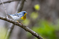 Northern Parula (Setophaga americana), male in breeding plumage foraging during migration at Doodletown, Bear Mountain State Park, New York.