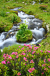 Wideangle of alpenrose (Rhododendron ferrugineum) and mountain stream. Nordtirol, Austrian Alps. June