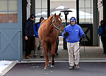 17 January 2010.   Kentucky Stallion Farms.  Henny Hughes is brought out for inspection by breeders and fans during a stallion show.