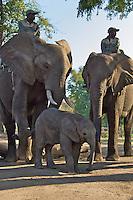 Elephant Back Safaris on the Zambezi River, Zambia Africa, where you can interact with the elephants.  You can take a Safari which will take you into the Zambezi and the surrounding area.  Zambezi Elephant Trails sponsors the safari.