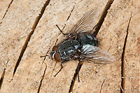 Blaue Schmeissfliege, Schmeißfliege, Blaue Fleischfliege, Brummer, Calliphora vicina, blowfly, bluebottles, bluebottle blowfly, bluebottle, Schmeißfliegen, Calliphoridae, blowflies