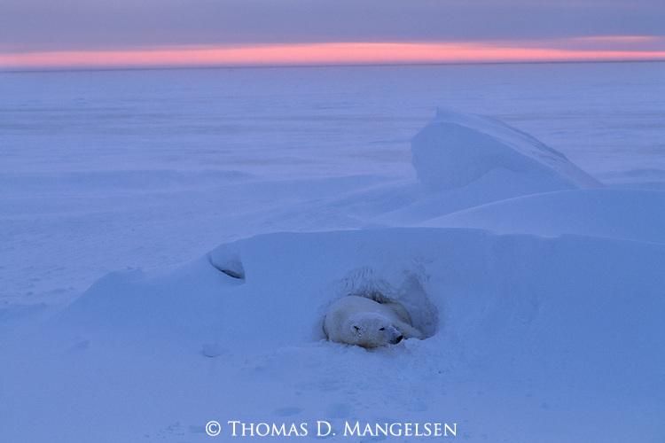 A polar bear rests in snow.