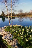 Jonquils and river birch grow next pond, Midwest USA