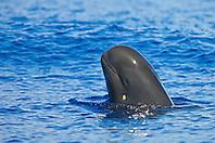 Short-finned pilot whale spyhopping, Globicephala macrorhynchus, note healing cookiecutter shark wound on cheek, Isistius brasiliensis, off Kona, Big Island, Hawaii, Pacific Ocean.