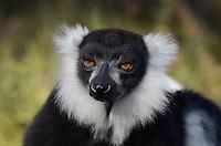 Black & White Ruffed Lemur(Varecia variegata variegata), Madagascar