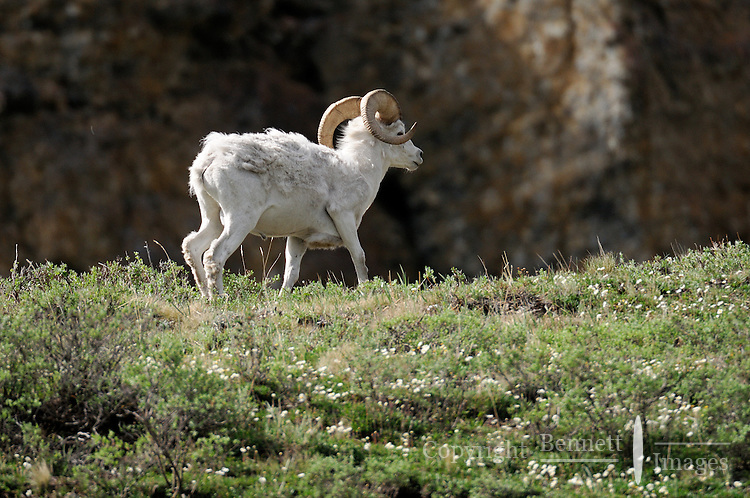 A Dall sheep trots along a bluff overlooking the Kongakut River, in Alaska's Arctic National Wildlife Refuge.