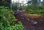 Salmon stream and temperate rainforest. Gribbell Island, Great Bear Rainforest, British Columbia, Canada