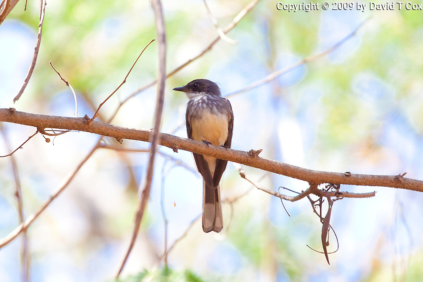 Northern Fantail, Lee Point, Darwin, NT, Australia