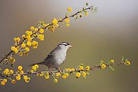 White-crowned Sparrow (Zonotrichia leucophrys), adult, Sinton, Corpus Christi, Coastal Bend, Texas, USA